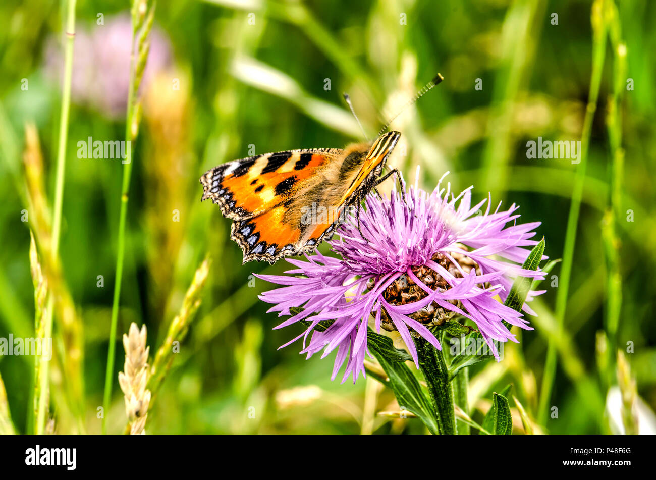 Reddish orange butterfly on a purple flower of a thistle with a blurred green background - Stock Image