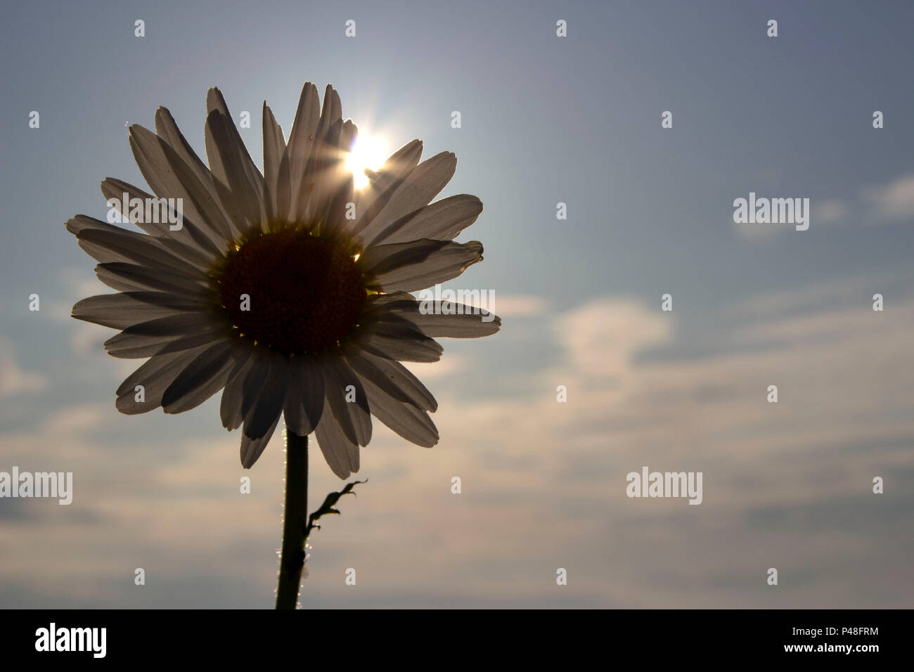 Single Daisy flower in the evening sunlight - Stock Image