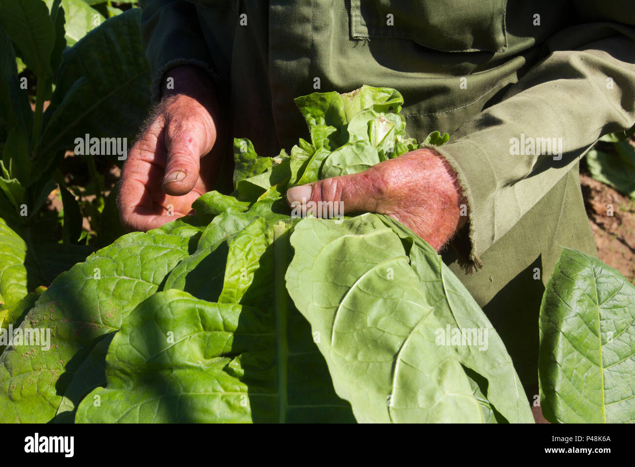 Hard working hands of a farmer in a tobacco plantation in Pinar del Río, Cuba, sustaining tobacco leaves just harvested. - Stock Image