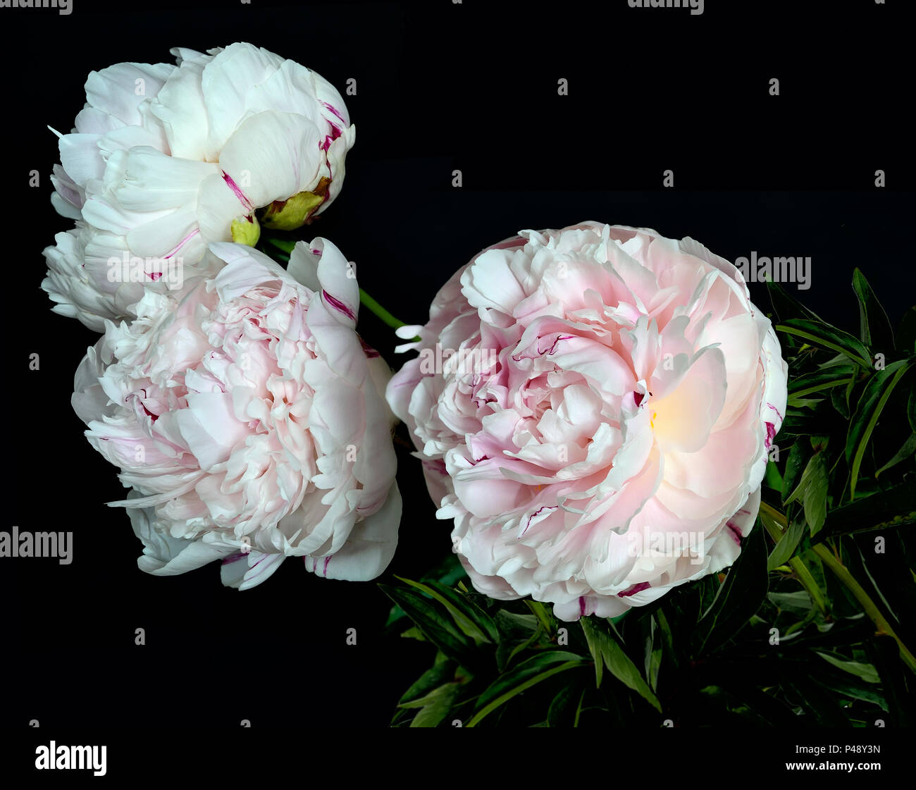 Beautiful bouquet of gentle white-pink peonies close up on a black background isolated with space for text. Flowers with delicate petals and delicate  - Stock Image