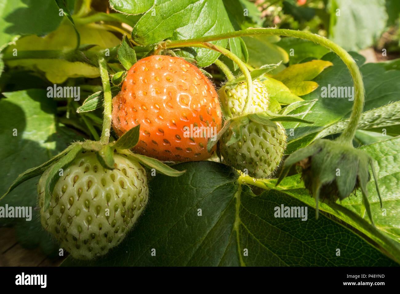Strawberry Cambridge Favourite, fragaria x ananassa, strawberries growing on the plant - Stock Image