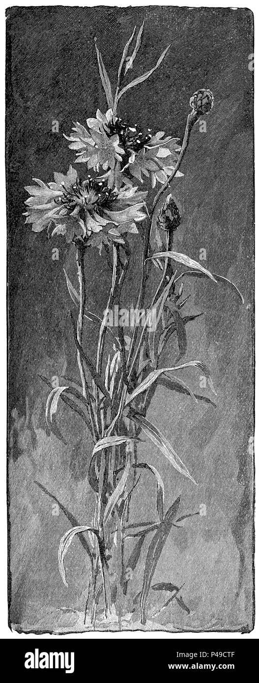 1883 engraving of cornflower (centaurea cyanus) from an illustration by Alfred Parsons. - Stock Image