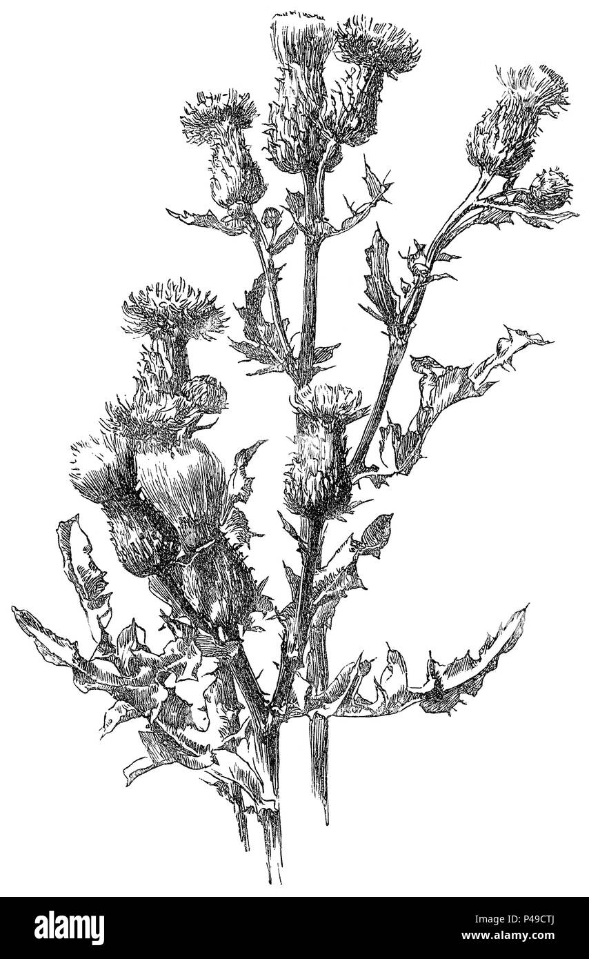 1883 engraving of a common thistle (cirsium vulgare) form an illustration by Alfred Parsons. - Stock Image