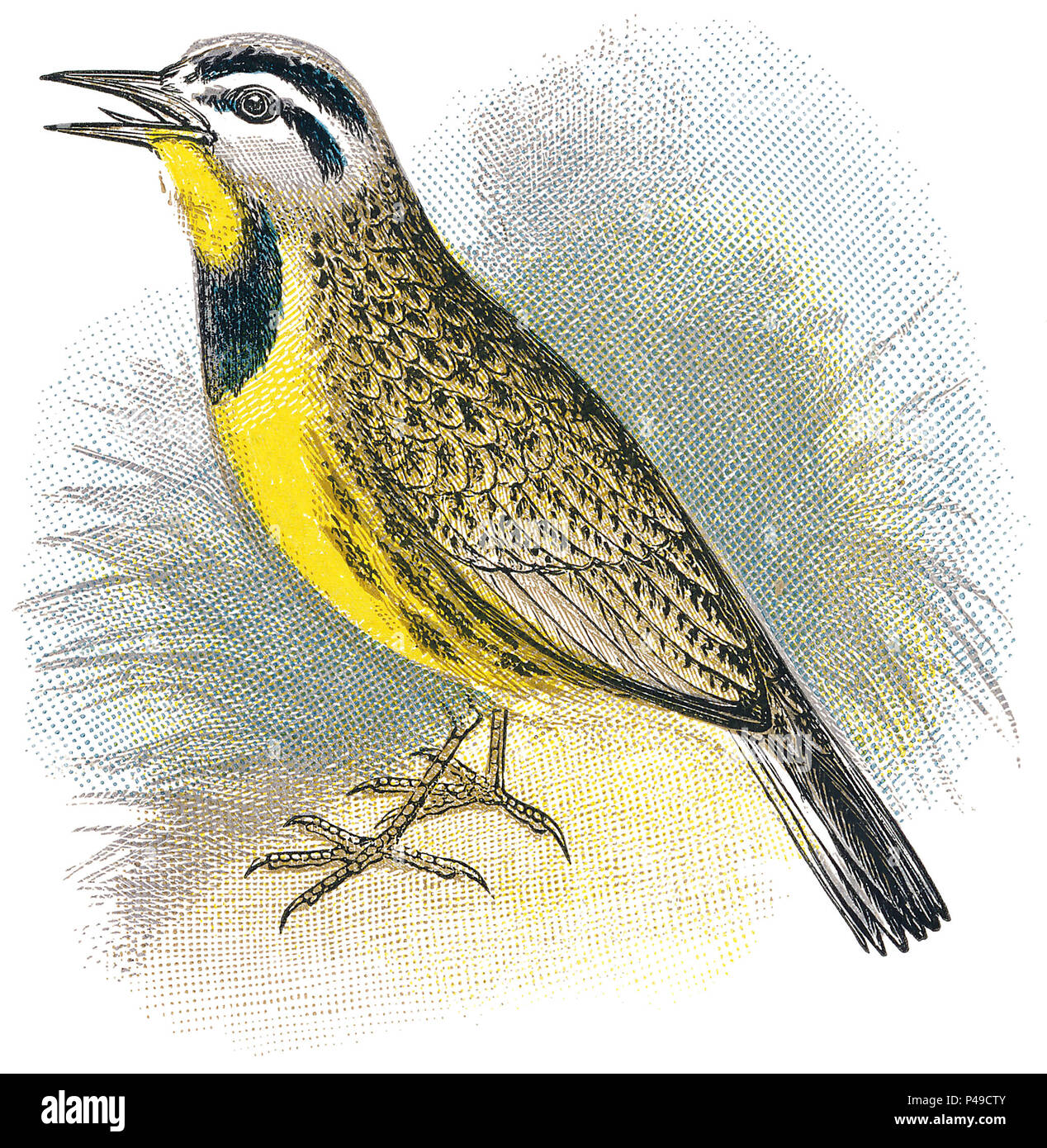 1898 colour engraving of an Eastern Meadowlark (sturnella magna). - Stock Image