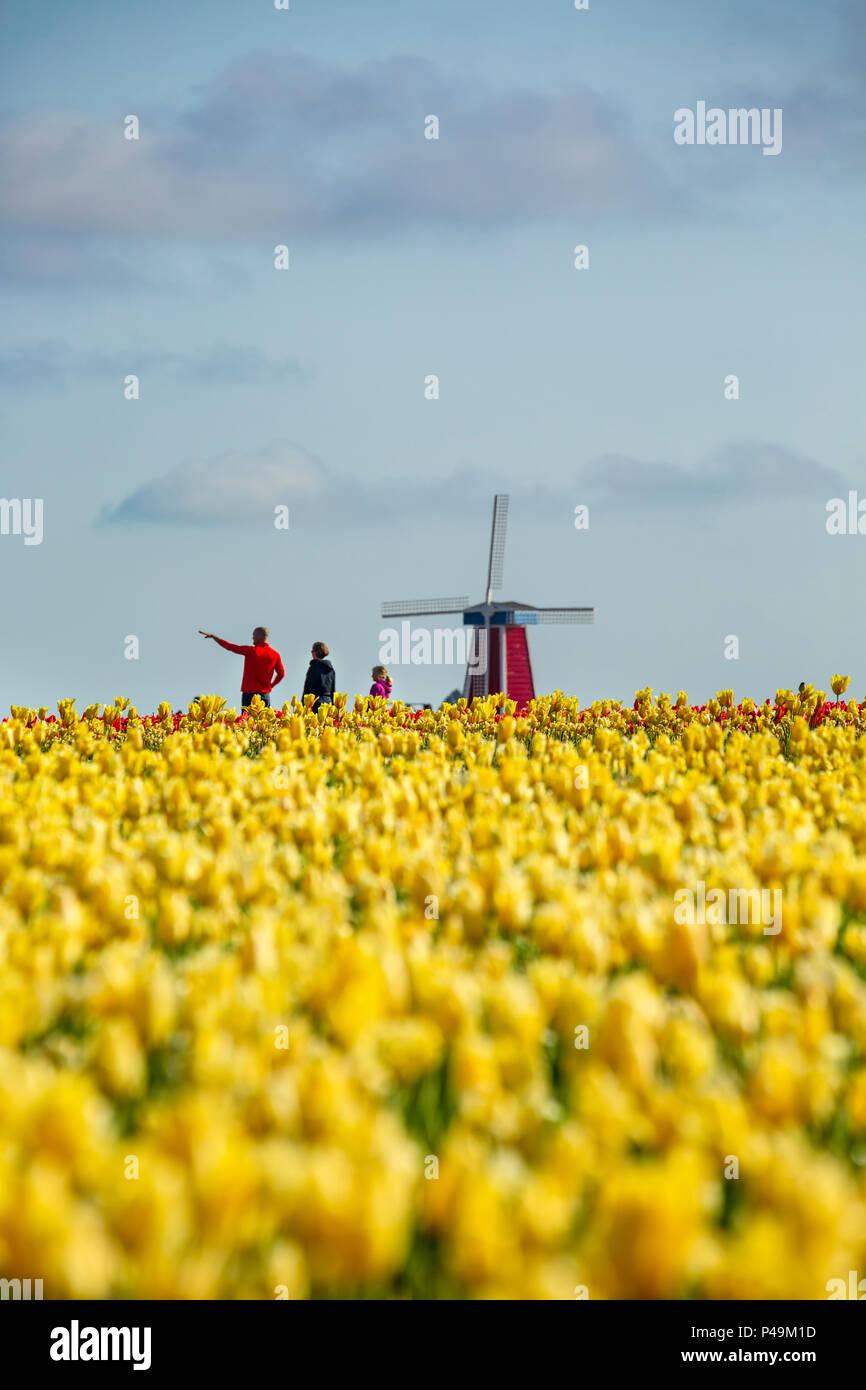 Family, yellow tulip field and windmill, Tulip Fest, Wooden Shoe Tulip Farm, Woodburn, near Portland, Oregon USA - Stock Image