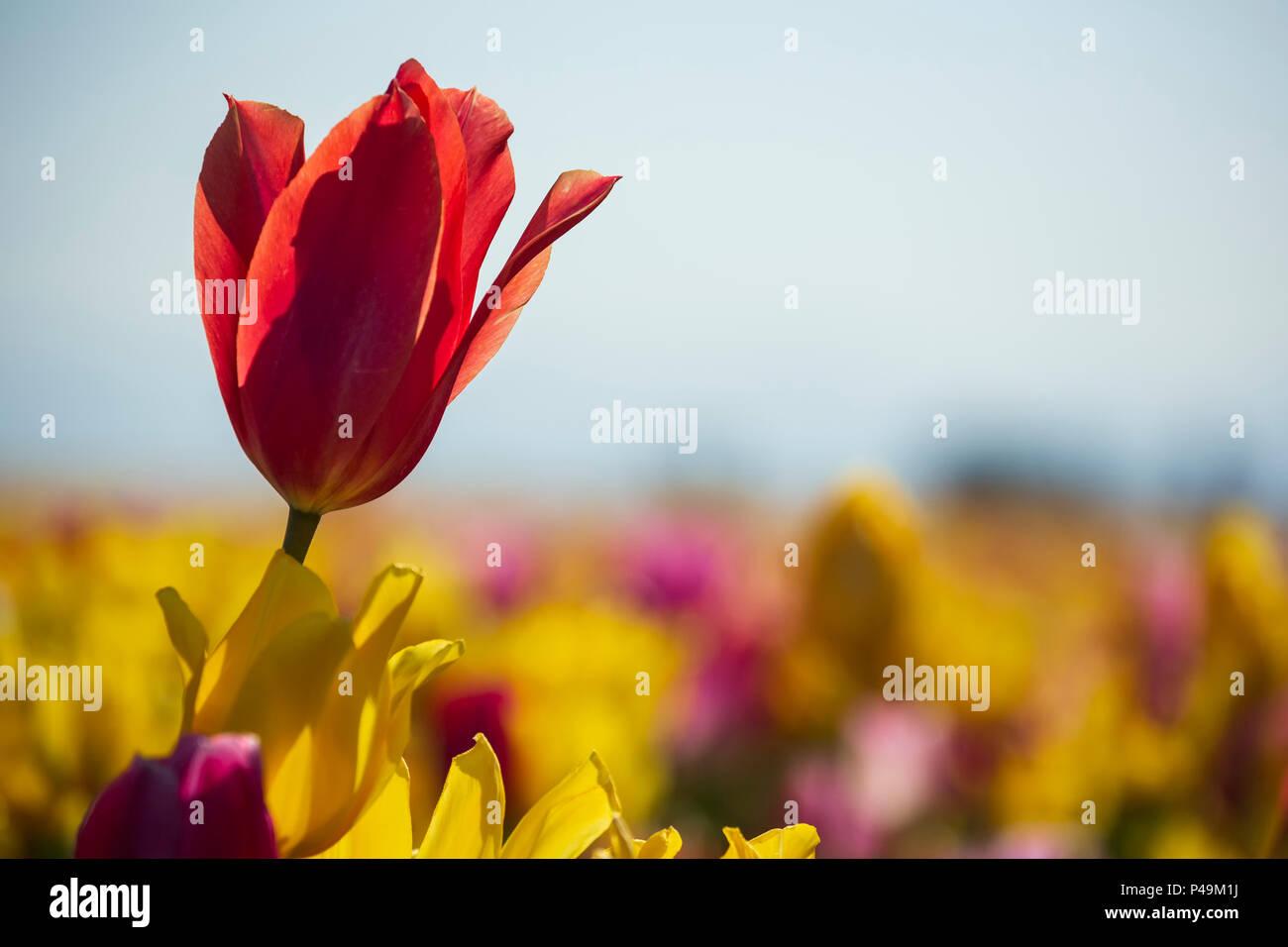 Colorful tulips, Tulip Fest, Wooden Shoe Tulip Farm, Woodburn, near Portland, Oregon USA - Stock Image