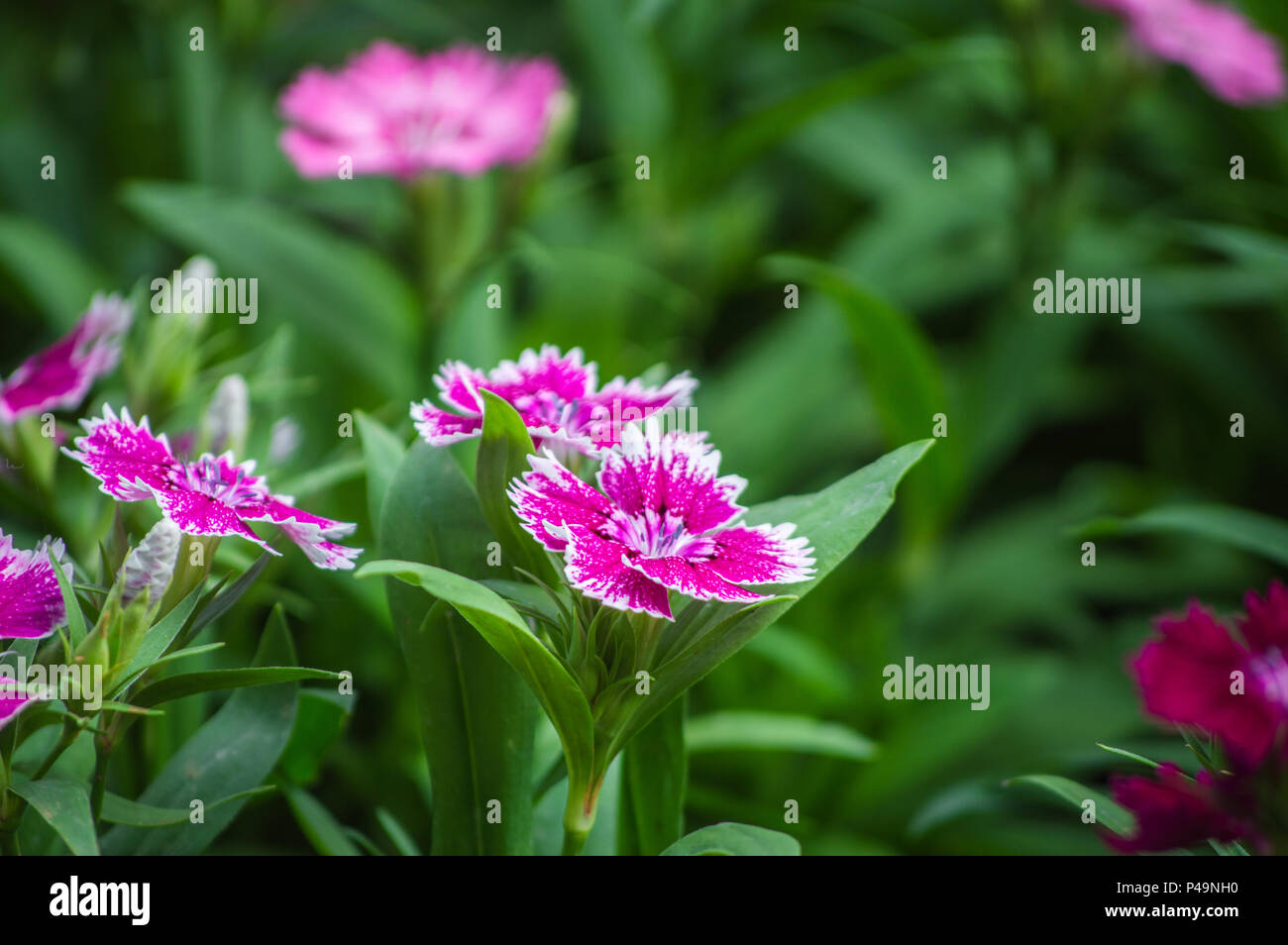 Dianthus flower (sweet william) blooms in the garden - Stock Image