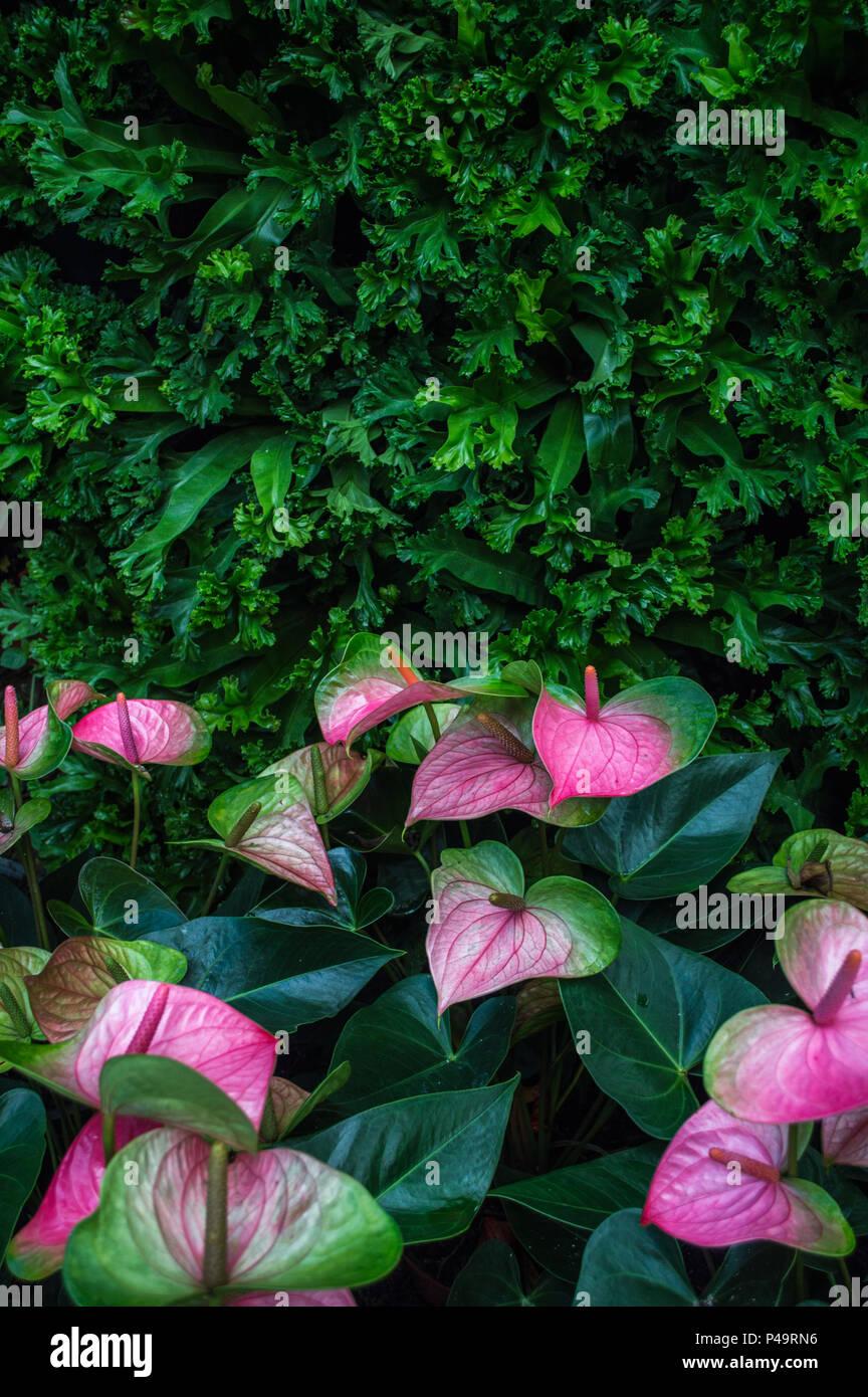 Anthurium Flamingo Flower Pink Stock Photos Anthurium Flamingo