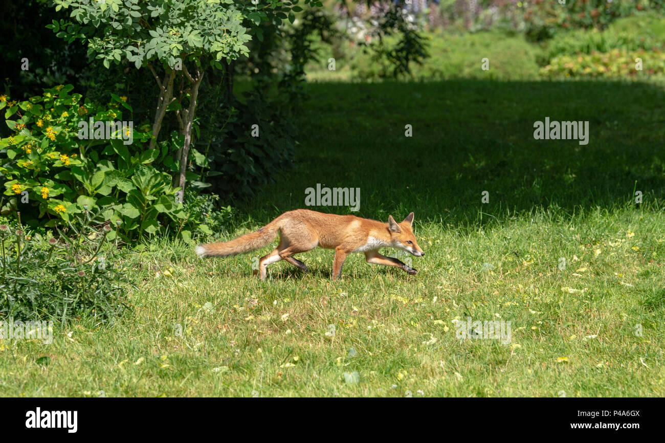 Brighton, UK  21st June, 2018  A young fox enjoys the