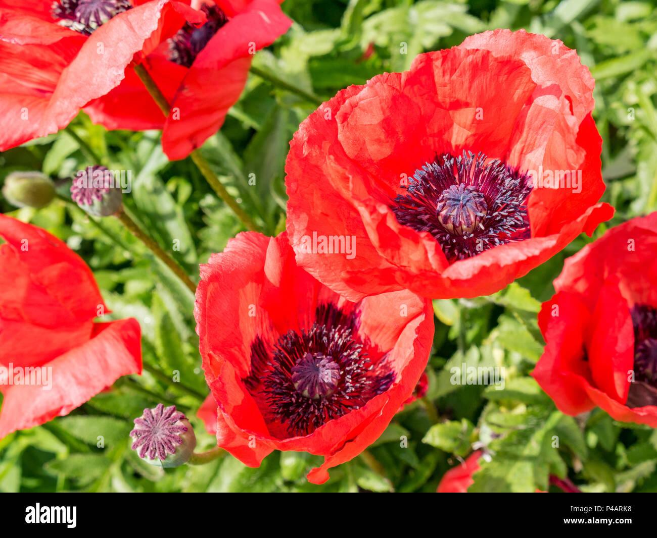 Close Up Of Sunlit Oriental Poppy Flowers Papaver Orientale