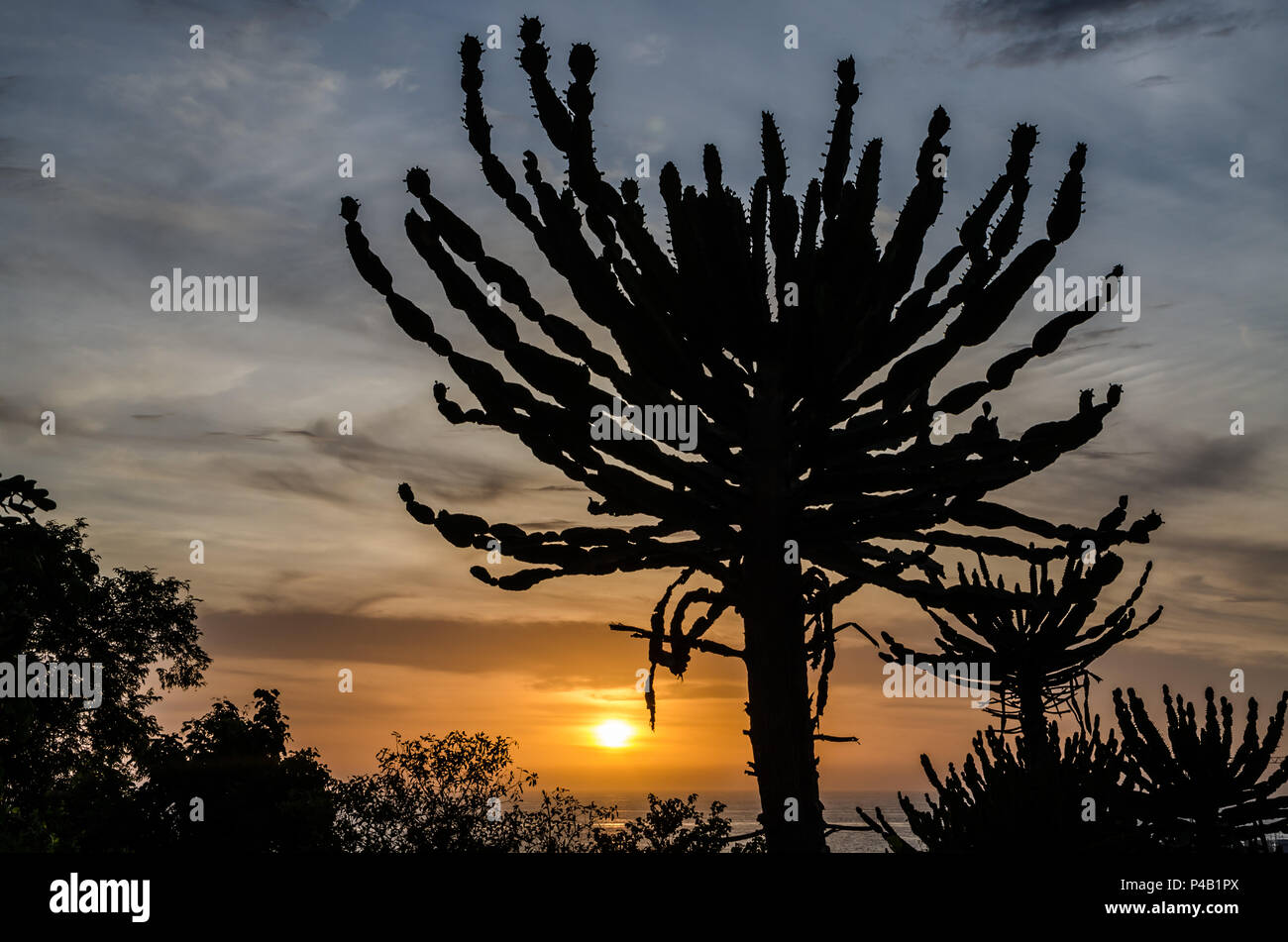 Silhouette of impressive Candelabrum Cactus with sunset in Angola. Photo taken at the Sao Miguel fortress in Luanda. - Stock Image