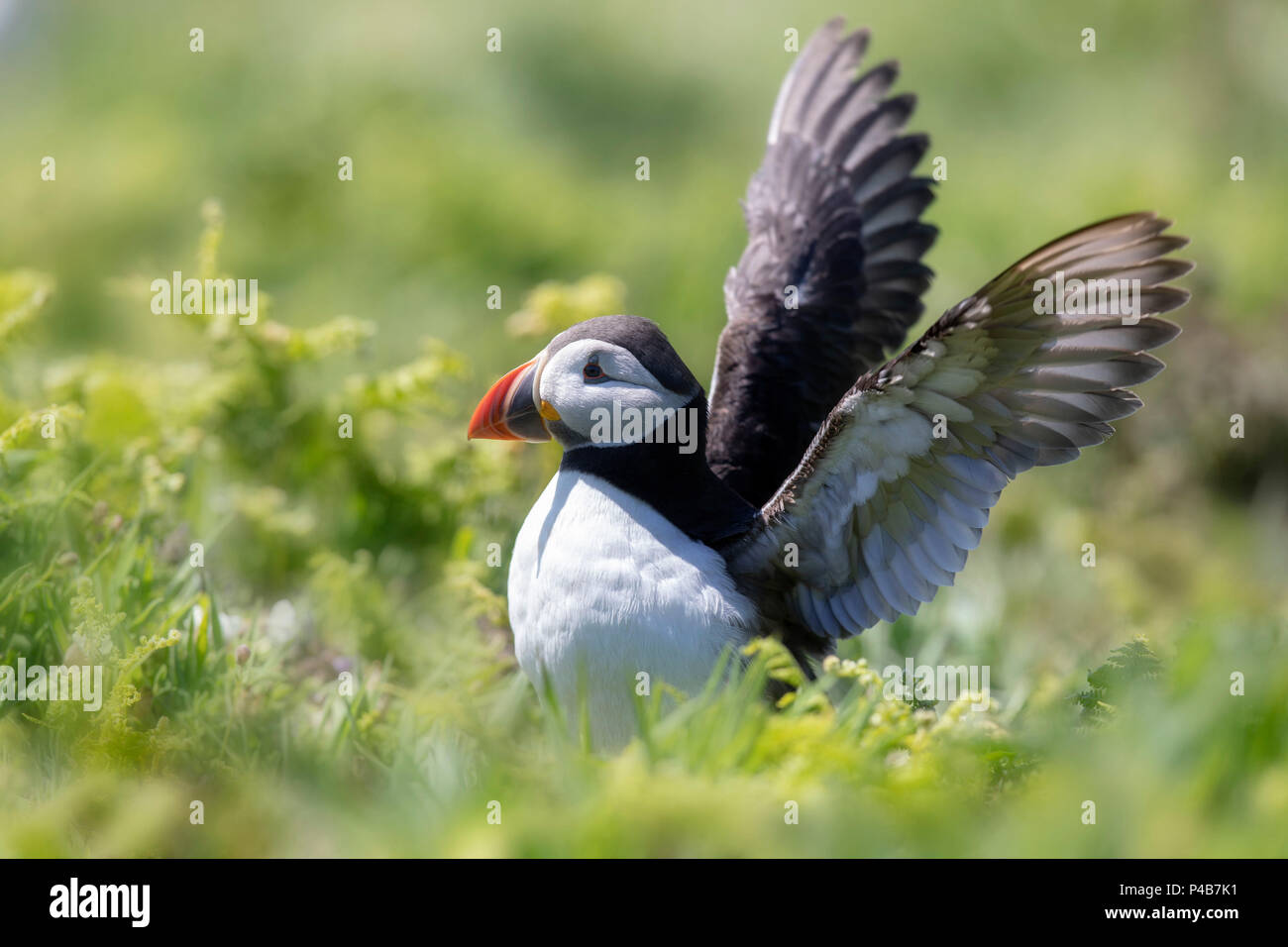 puffin moves its wings - Stock Image