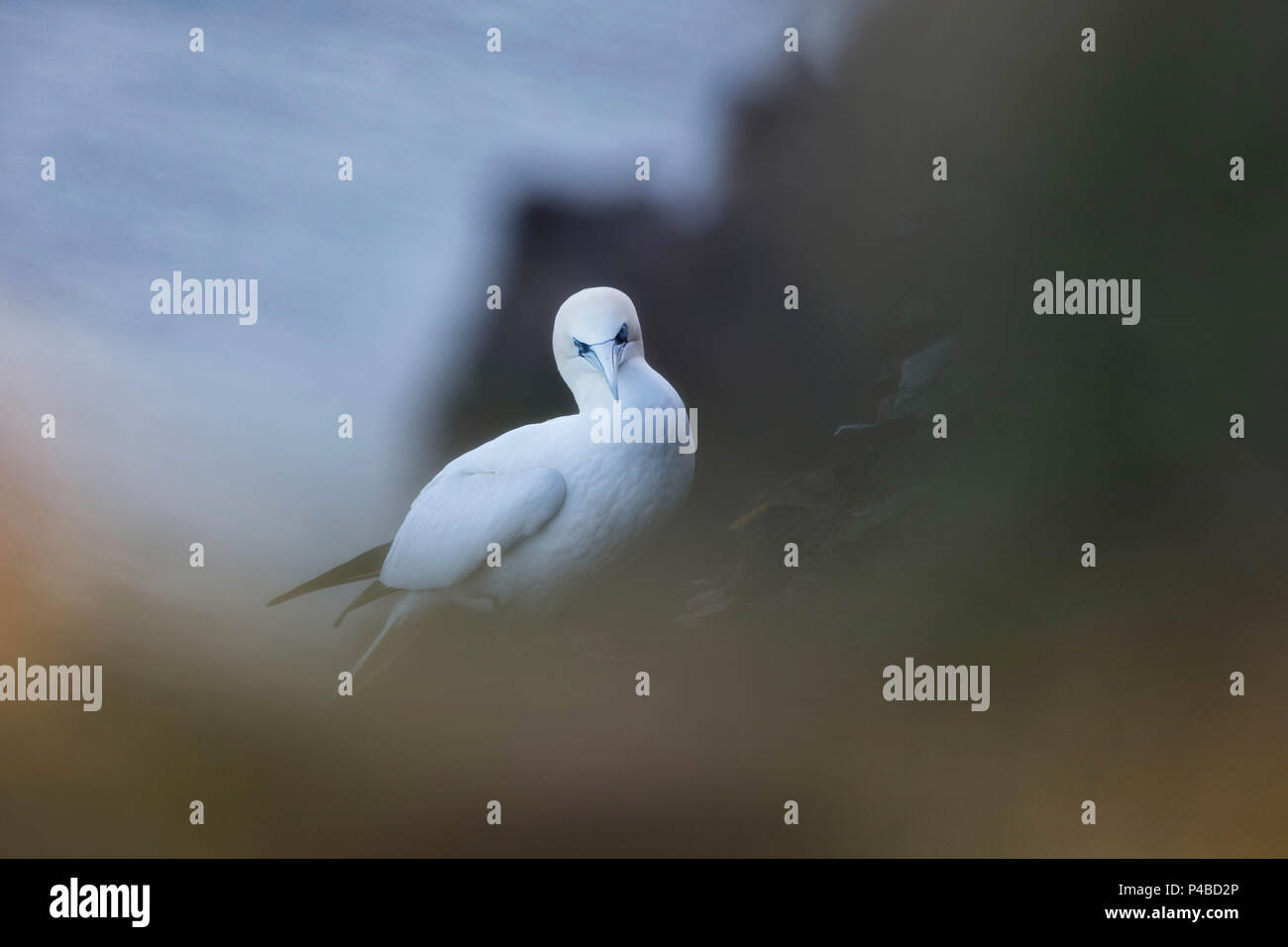 Gannet seabird with comical look funny - Stock Image