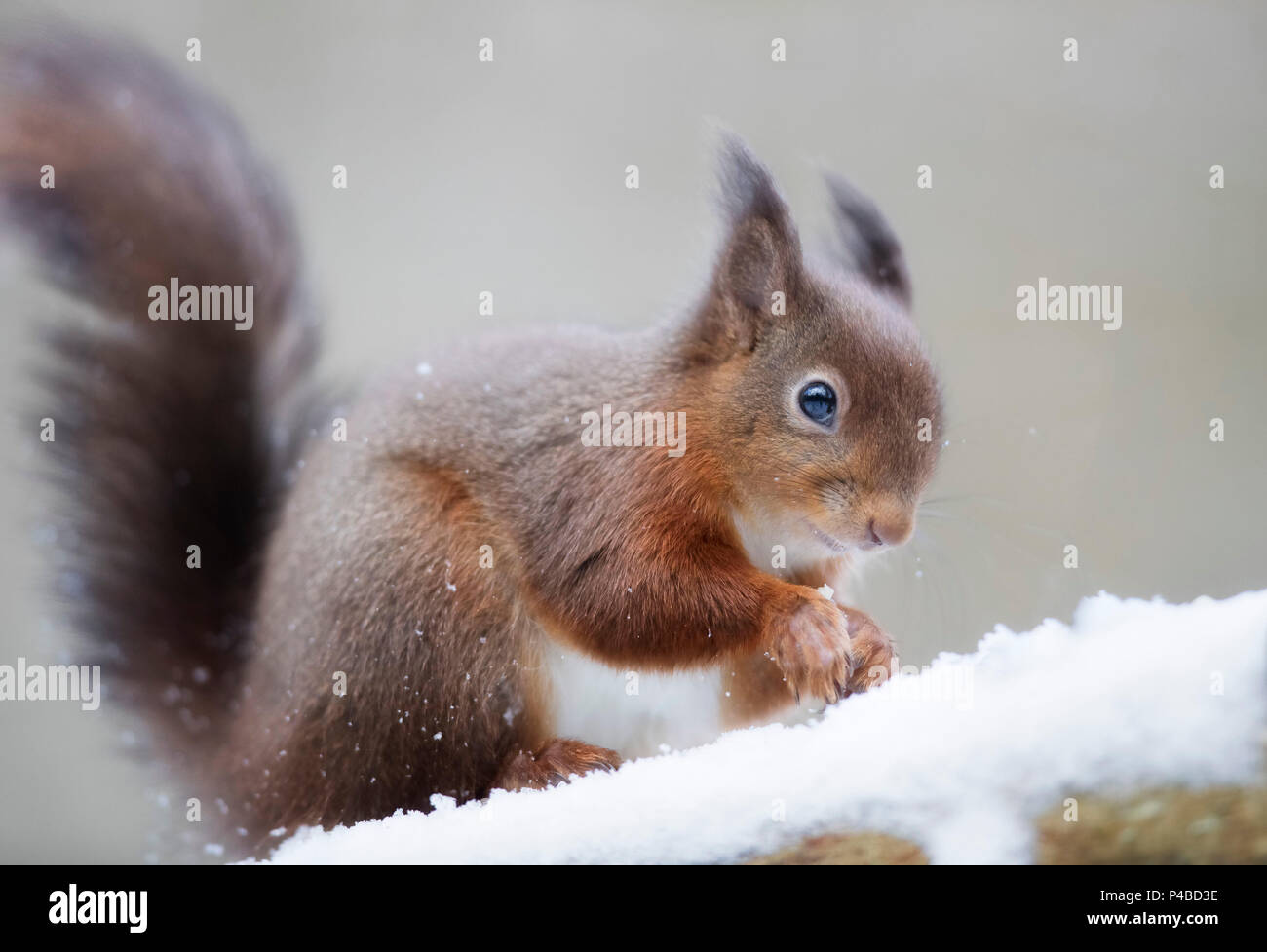Red squirrel in woods in snow - Stock Image