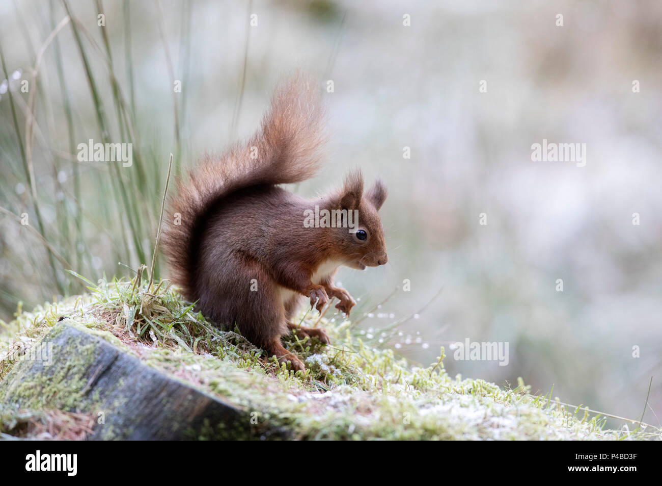 Red squirrel in woods in snow Stock Photo