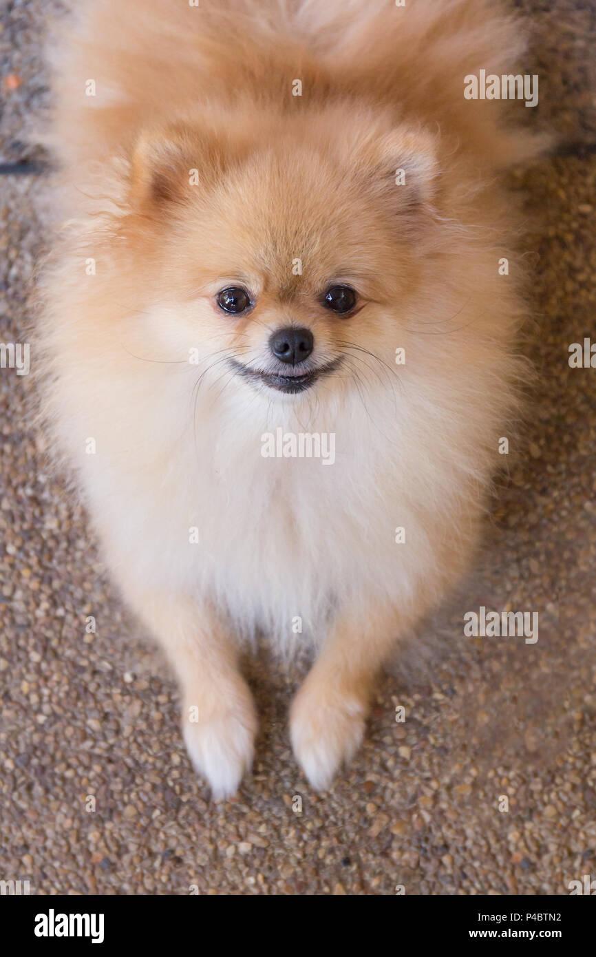Beautiful Orange Pomeranian Dog Sitting On Brick Stone Floor