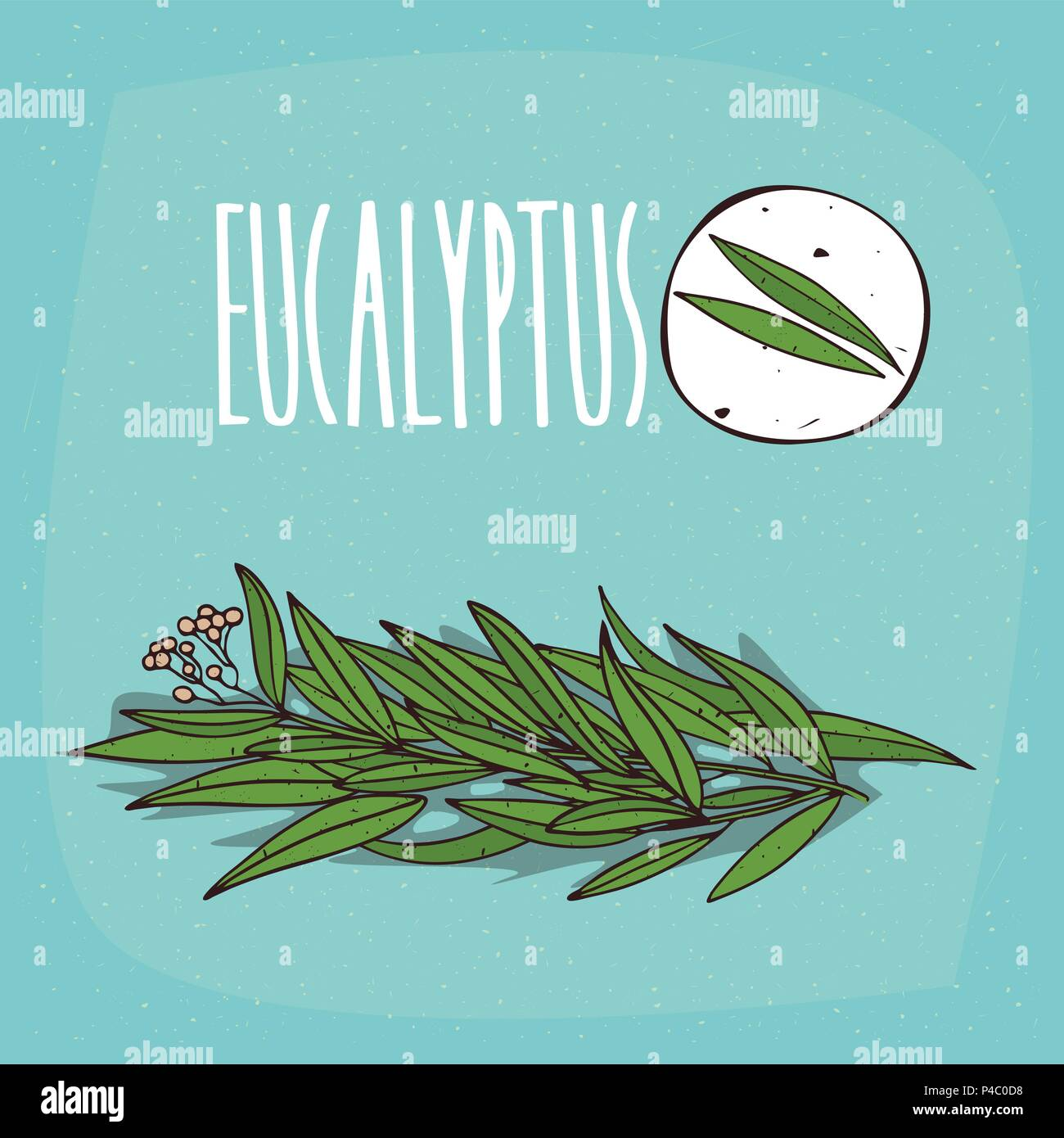 Set of isolated plant Eucalyptus leaves herb with flowers, Simple round icon of Eucalyptus on white background, Lettering inscription Eucalyptus - Stock Vector