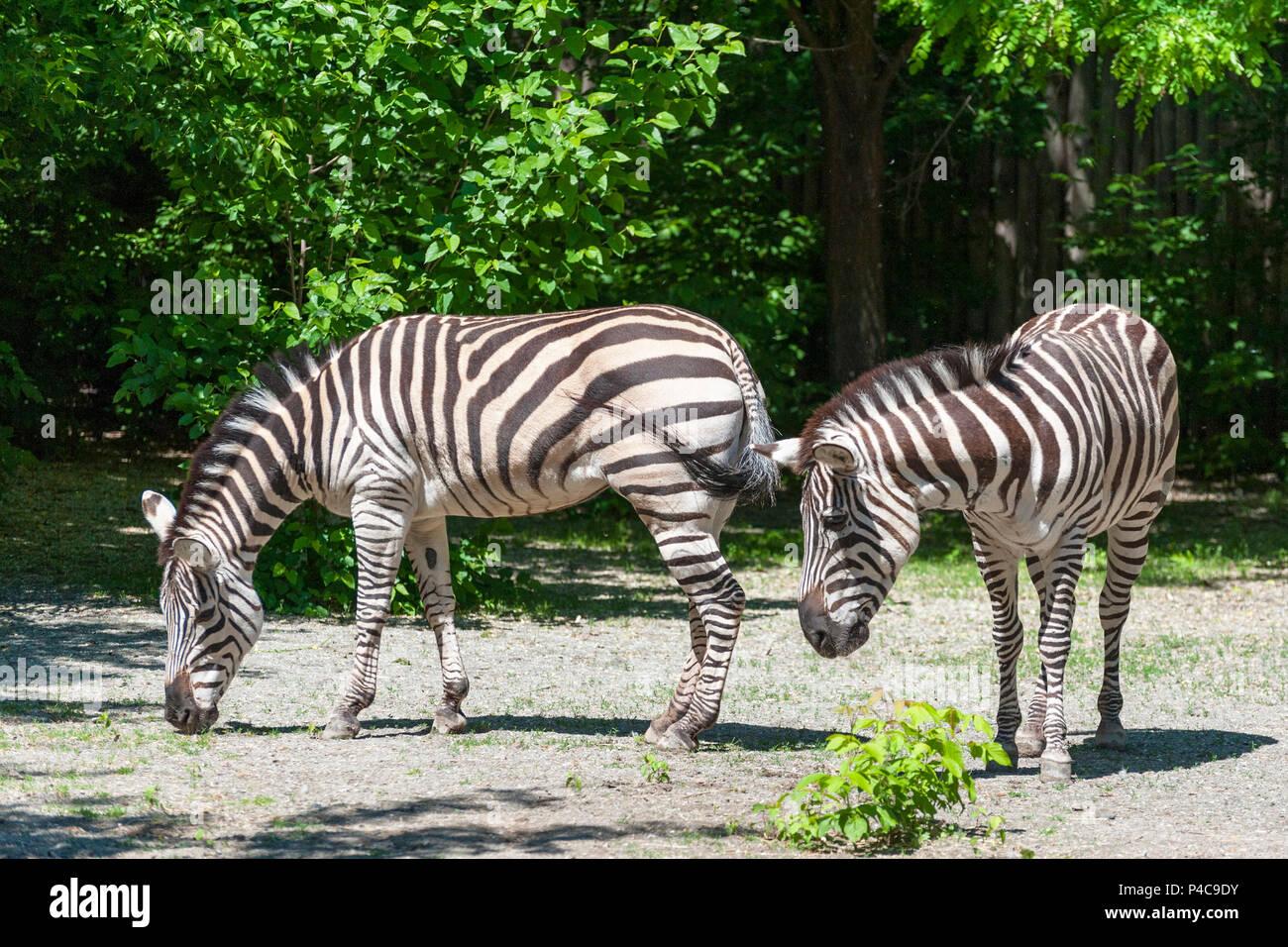 Portrait of a zebra close-up . (Equus quagga) Stock Photo