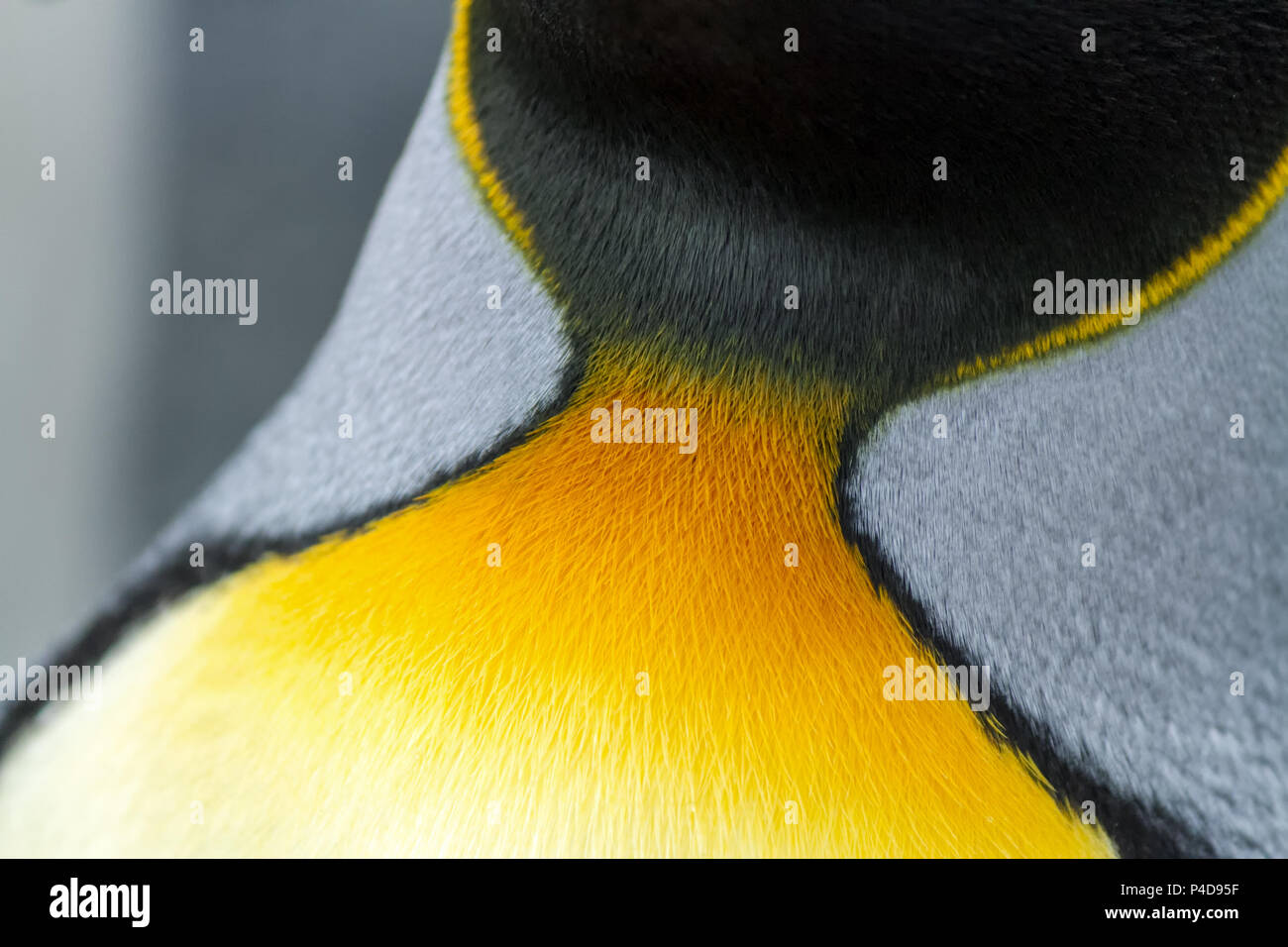 King Penguin close-up of colourful neck feathers - Stock Image