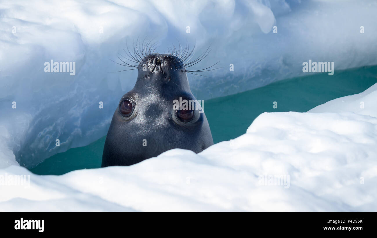 Weddell Seal coming up to breathe in a hole in the sea ice - Stock Image