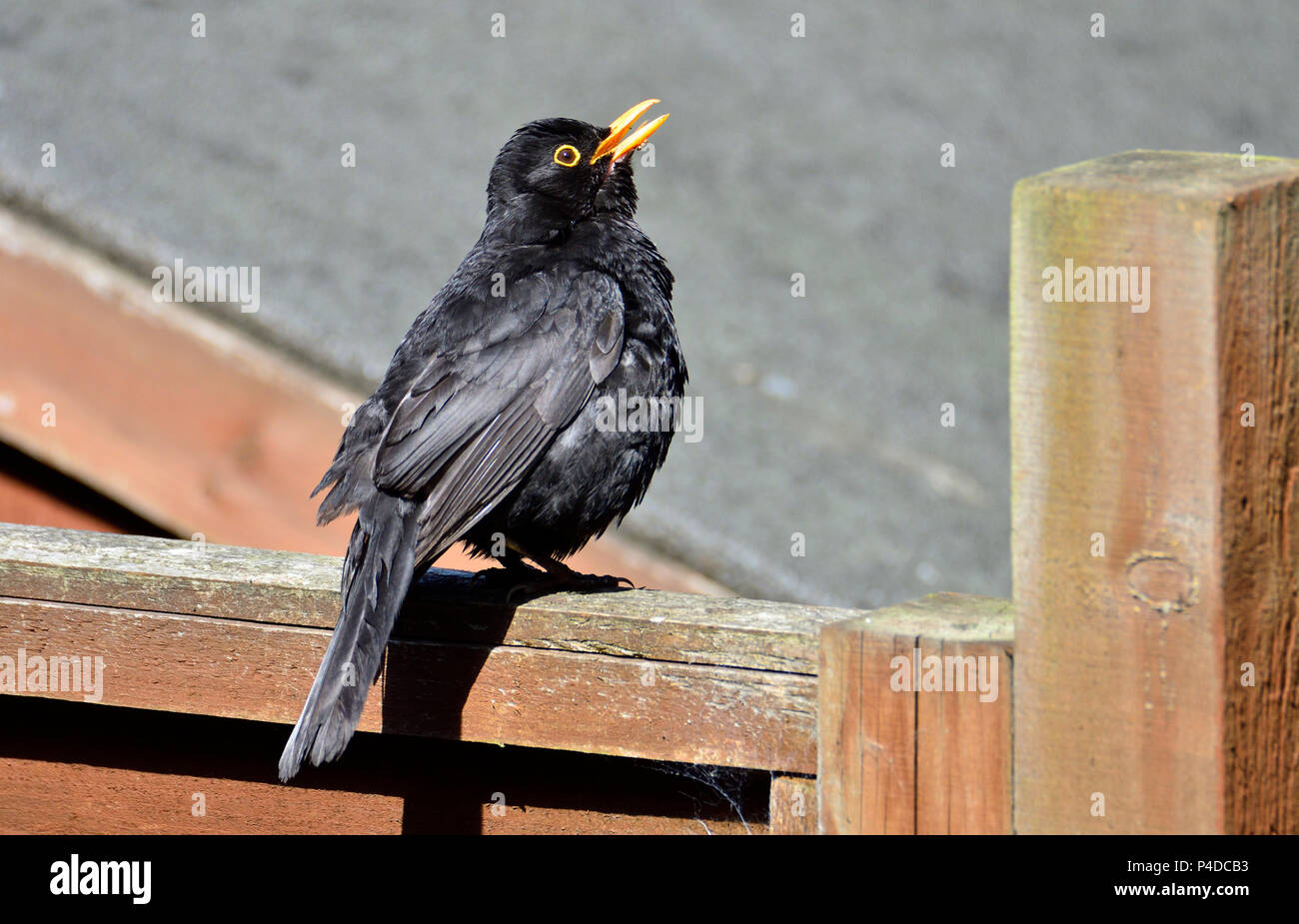 Male Blackbird (Turdus merula) sitting on a garden fence in the sun with its beak open (motionless for a long time) - Stock Image