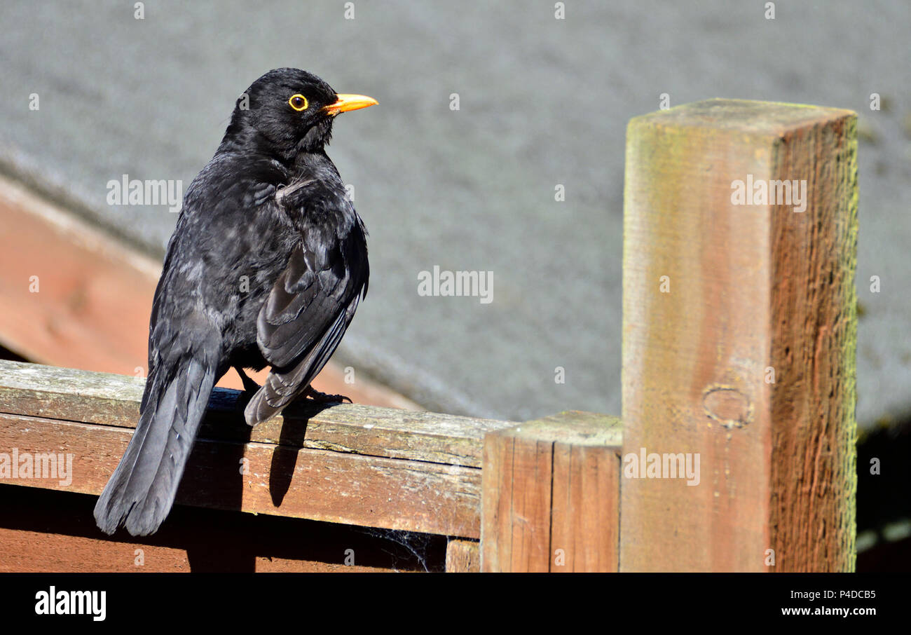 Male Blackbird (Turdus merula) sitting on a garden fence in the sun (motionless for a long time) - Stock Image