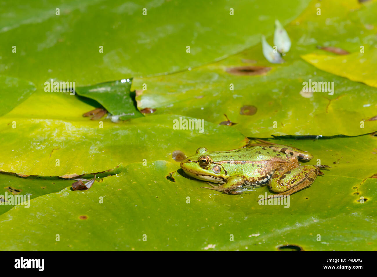 A Perez's frog (Pelophylax perezi) over lily's leaves, Rio Lobos Canyon, Soria, Spain. - Stock Image