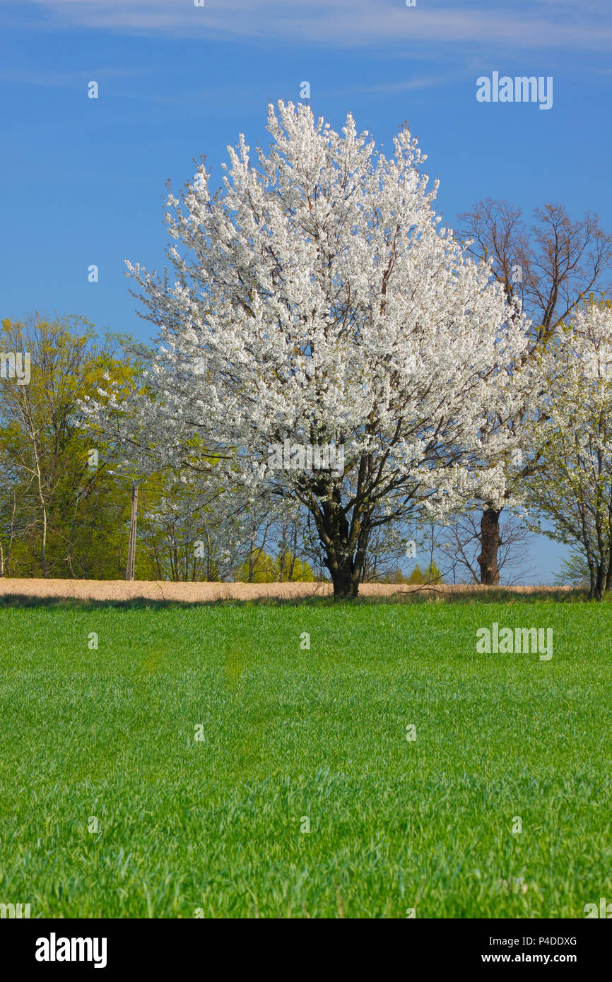 Spring Landscape With White Flowering Trees And Blue Sky Poland