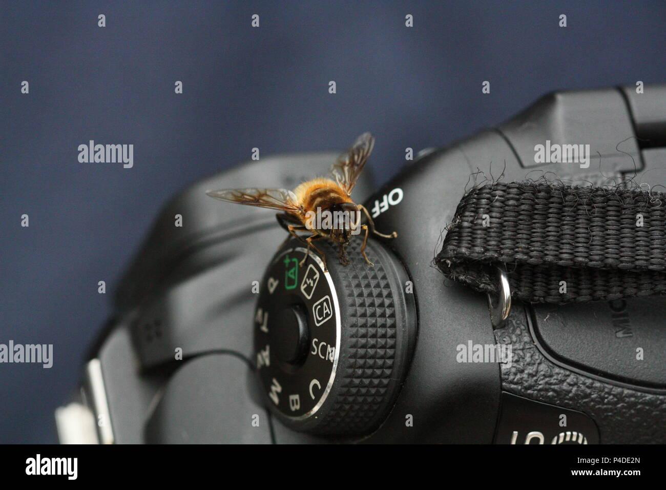 Bee on camera - Stock Image