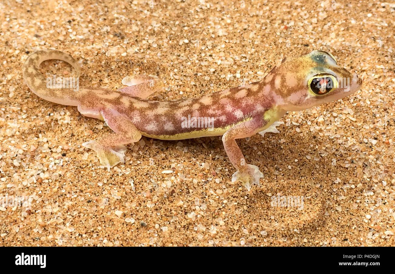 Close up of a Palmato Gecko Stock Photo