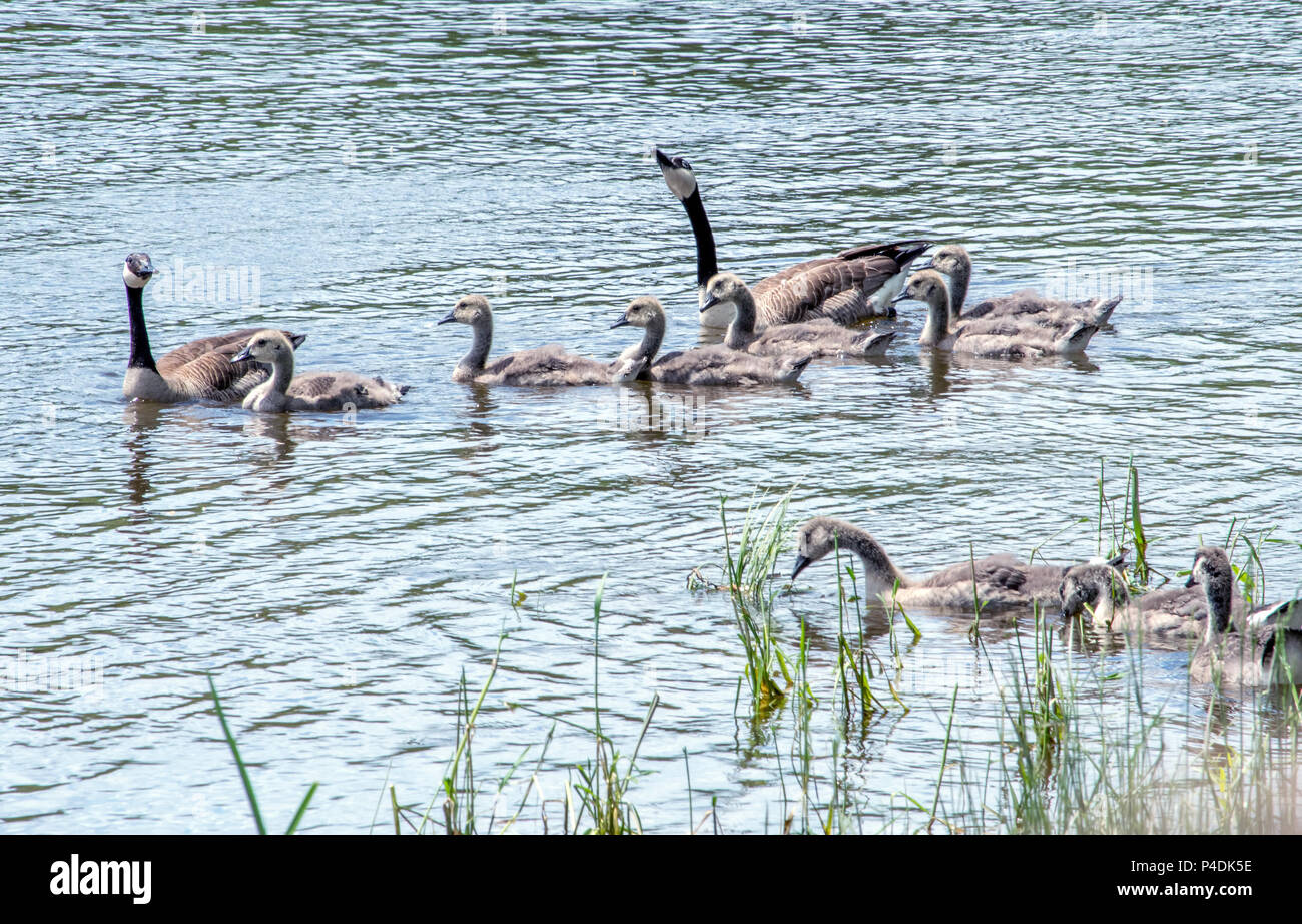 Mulitble familes of geese relax in a beautiful Michigan lake - Stock Image