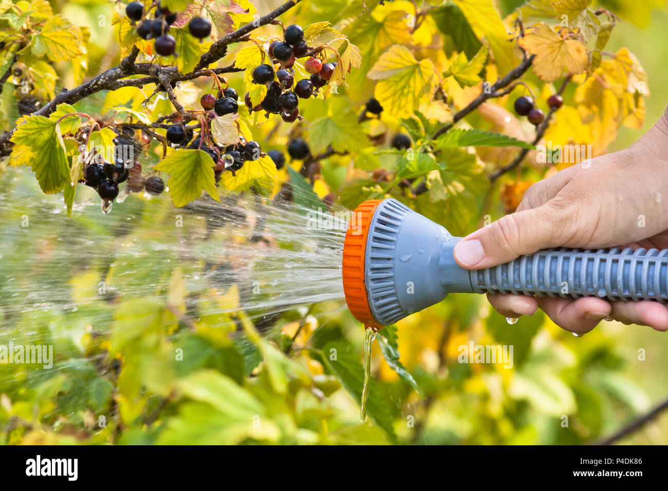 hand watering black currant in the garden - Stock Image