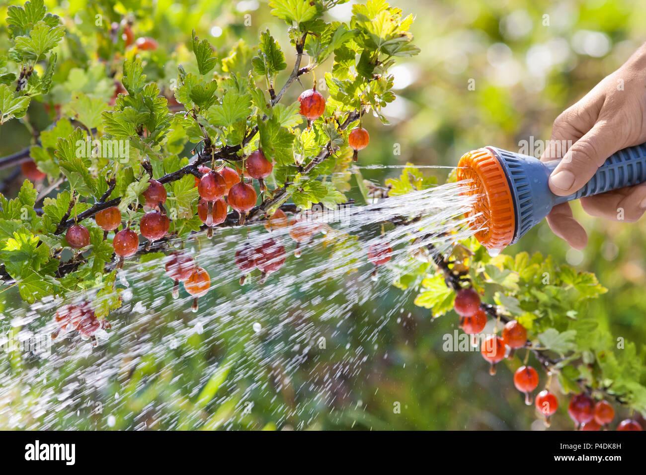 hand watering bush of gooseberry in the garden - Stock Image