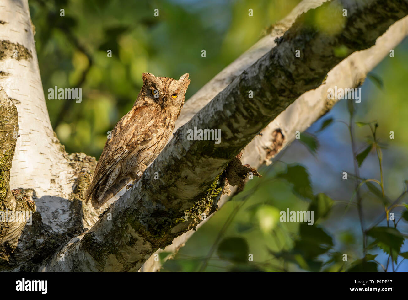 Scops Owl - Otus scops, beautiful small owl from European forests and woodlands, Eastern Rodope Mountains, Bulgaria. - Stock Image
