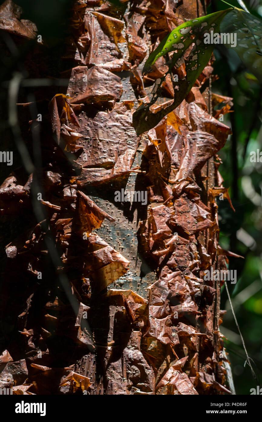 Bark of Gumbo Limbo, Bursera simaruba, Burseraceae, Corcovado National Park, Osa Pensinsula, Costa Rica, Centroamerica - Stock Image