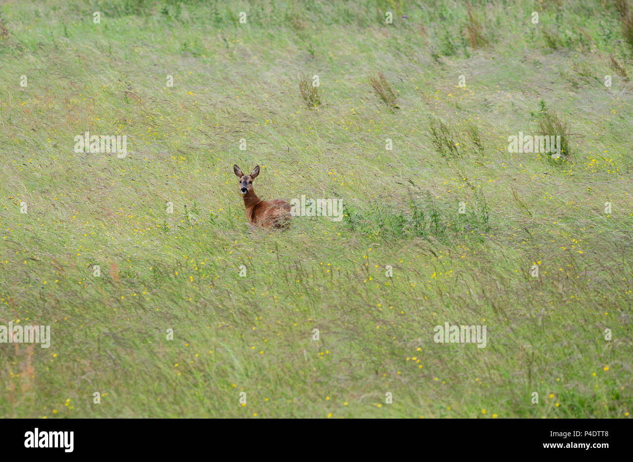 a wild roe deer doe walking through a field of buttercups, looking over towards the camera - Stock Image