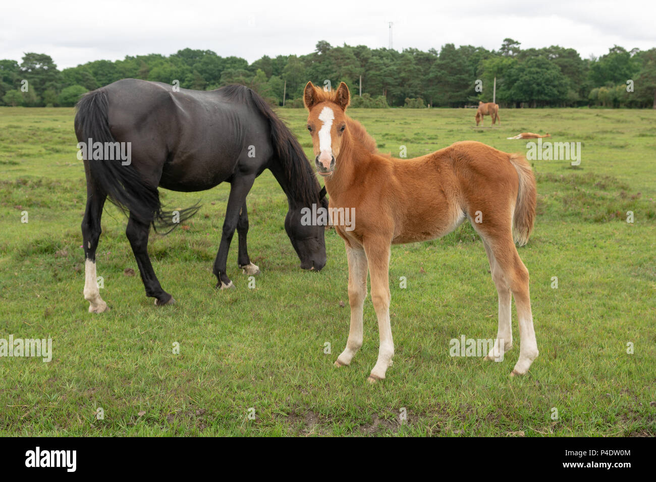 Fawn coloured foal with its black mother pony in the New Forest south of England national park, UK - Stock Image