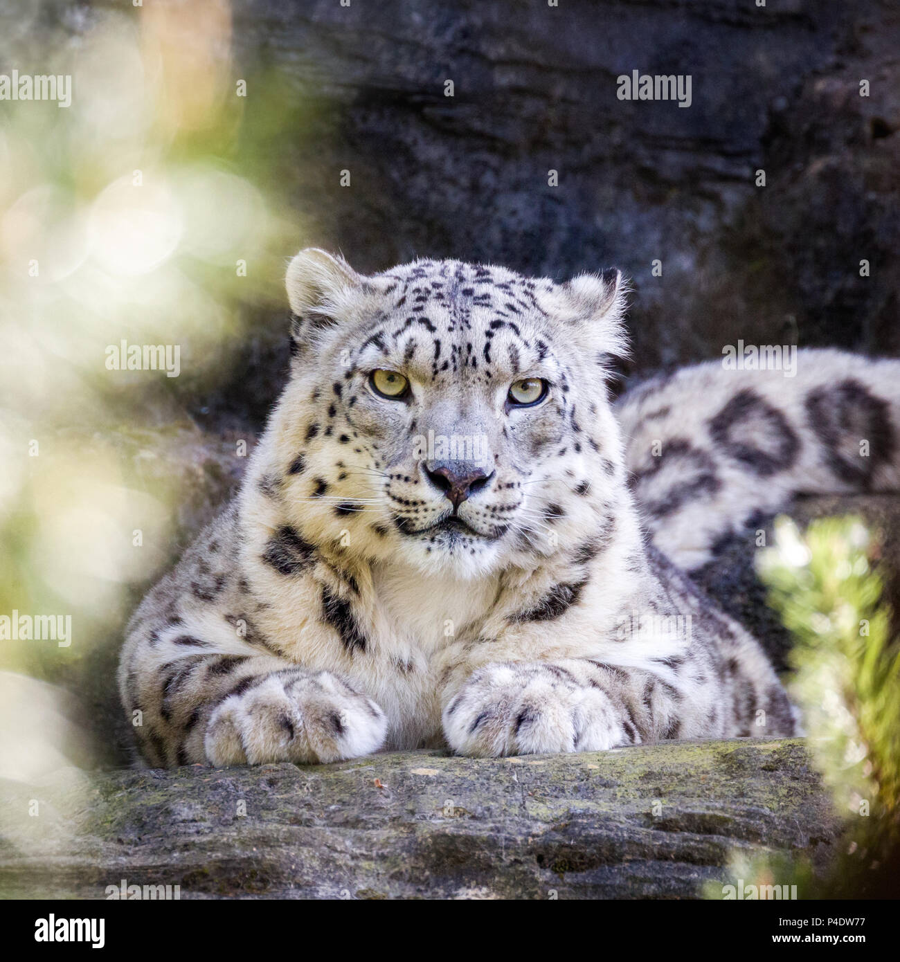 Attentive snow leopard keeps a watchful eye through the foliage. - Stock Image