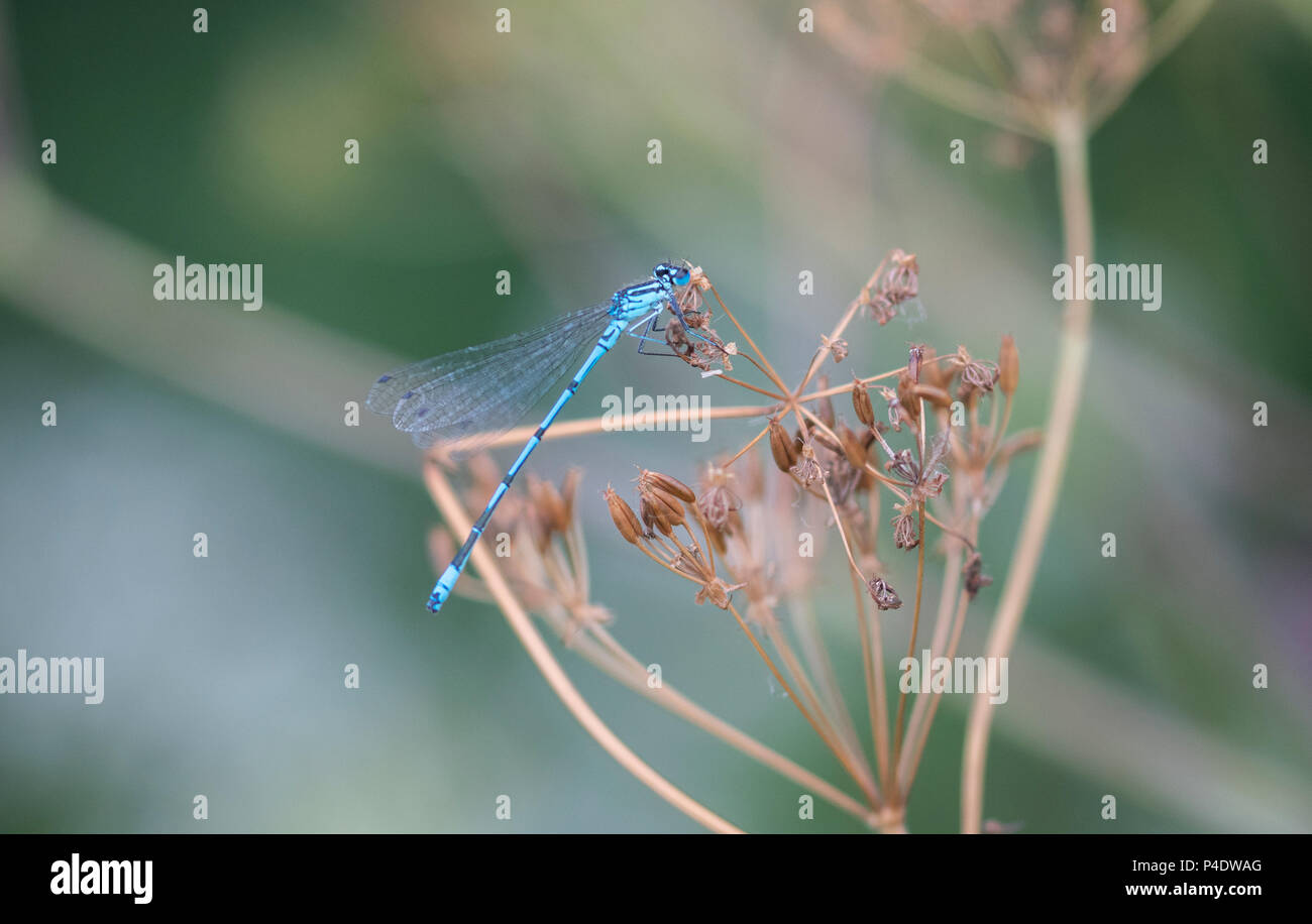Damselflies resting by reeds in Gloucestershire soft - Stock Image