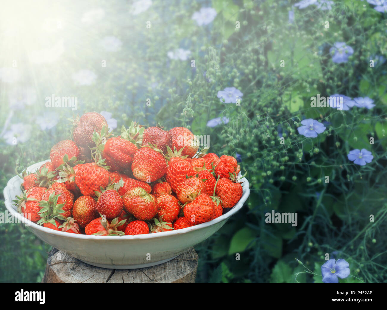 Red Fresh Ripe Strawberries And Blue Pretty Flowers Of Flowering