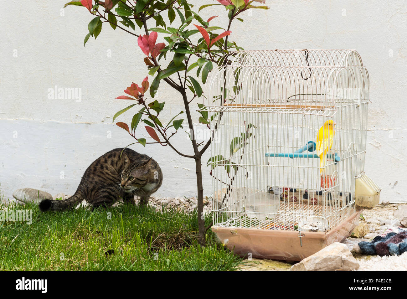 Cat roaming in front of a canary in a cage, Kruje, Albania - Stock Image