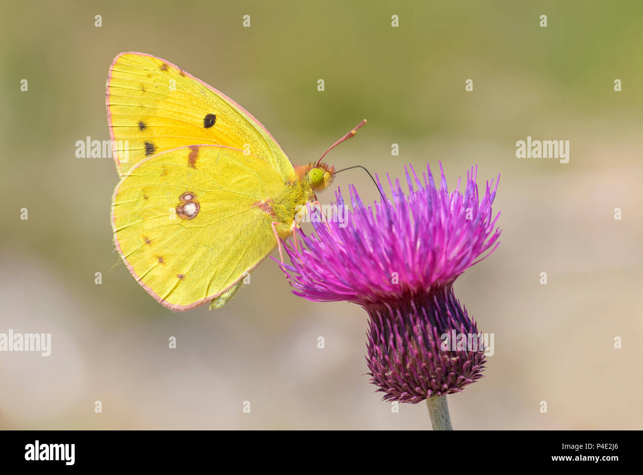 Berger's Clouded Yellow butterfly - Colias alfacariensis, beautiful large yellow butterfly from Eastern European meadows and grasslands. - Stock Image