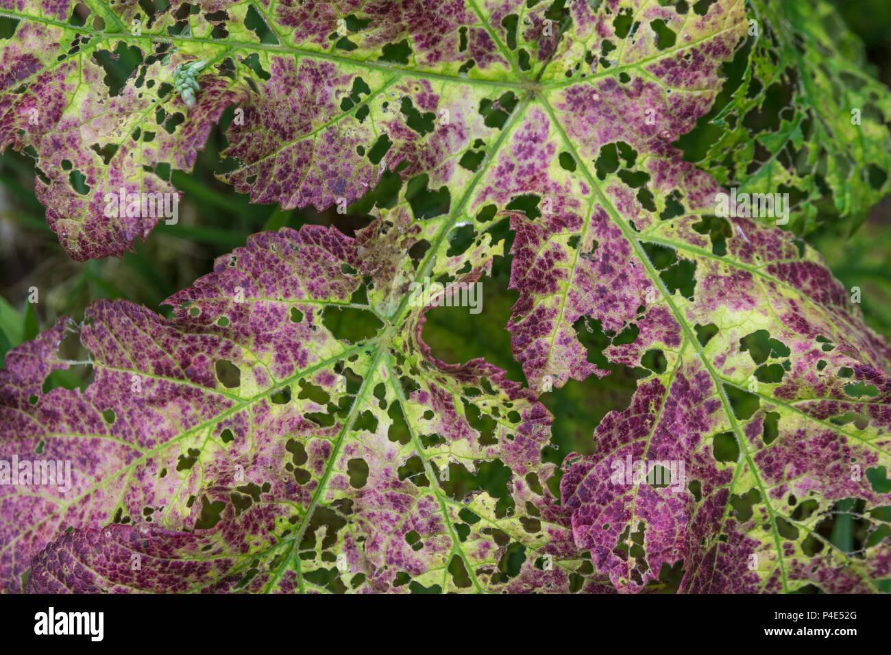 Hogweed / Cow Parsnip - diseased leaf of Hogweed (Heracleum sphondylium). - Stock Image