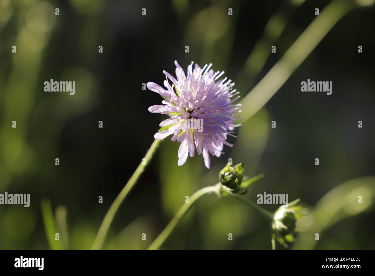 scabious flower a beautiful pink flower - Stock Image