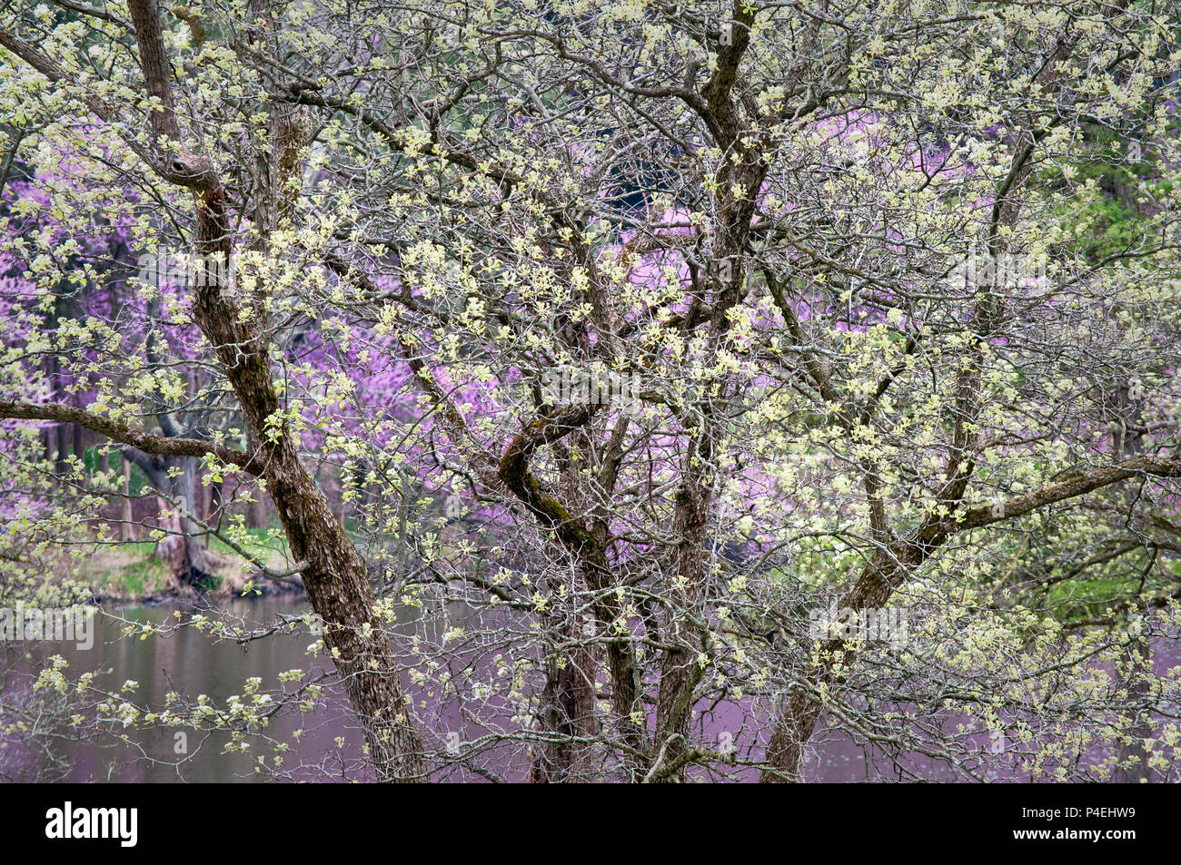 Lake Marmo forms a backdrop for the spring tapestry of color and texture created by a flowering downy hawthorn tree at the Morton Arboretum, Lisle, IL - Stock Image