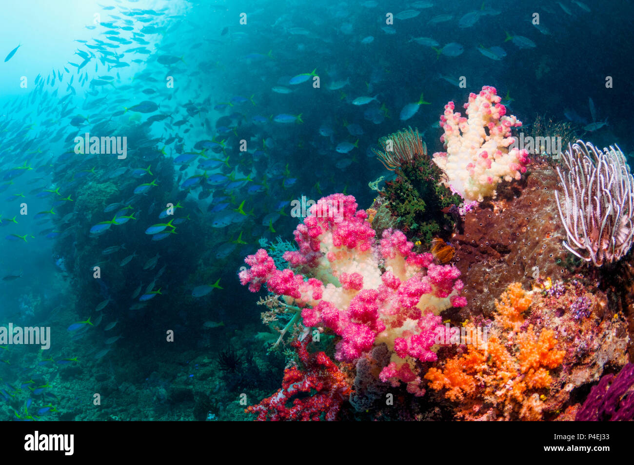 Coral reef scenery with soft corals [Dendronephthya sp.] and Yellowback fusiliers [Caesio teres].  West Papua, Indonesia. Stock Photo
