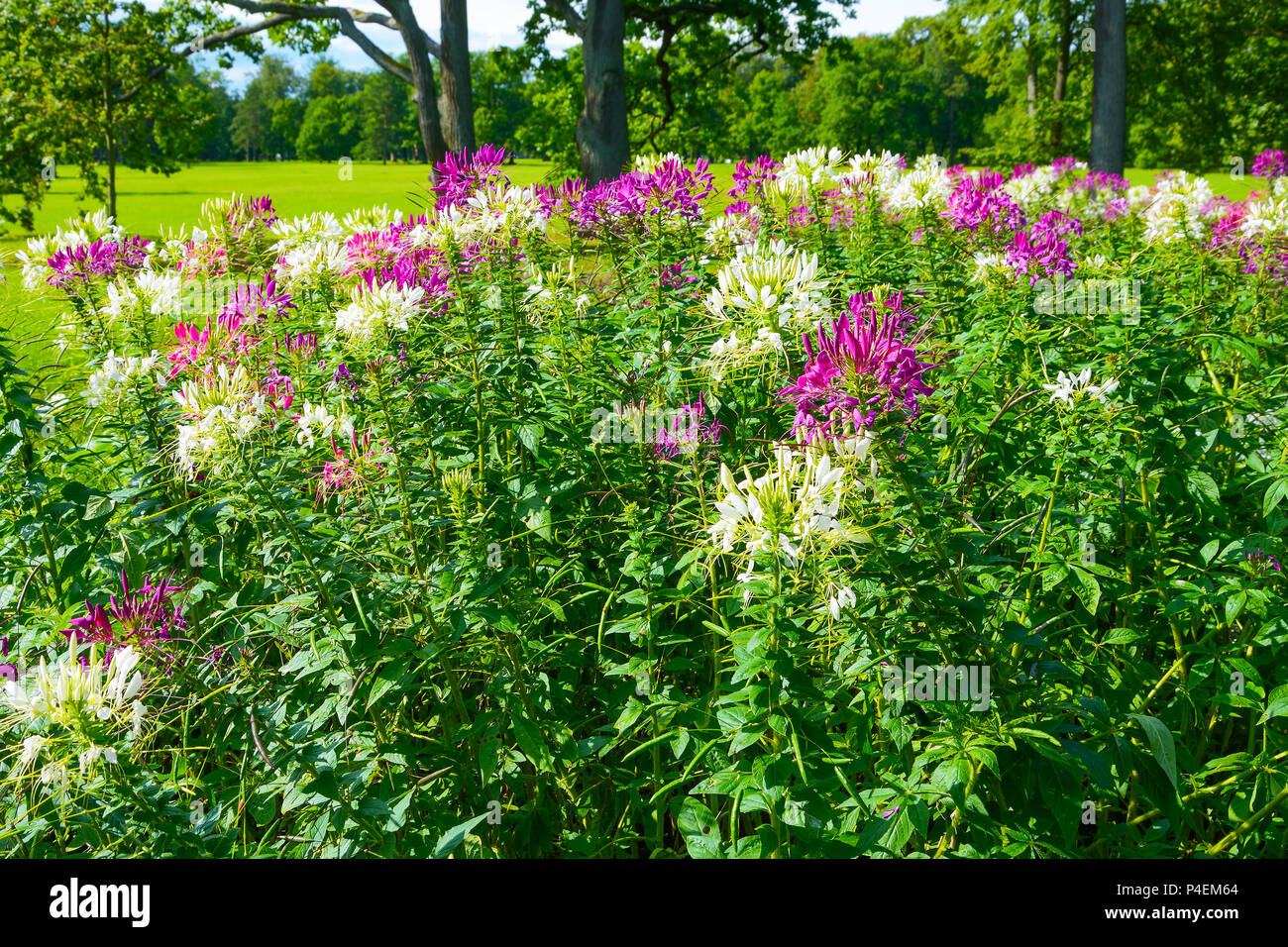 Curtain Of Flowering Bushes Of Cleoma In The Landscape Park Stock