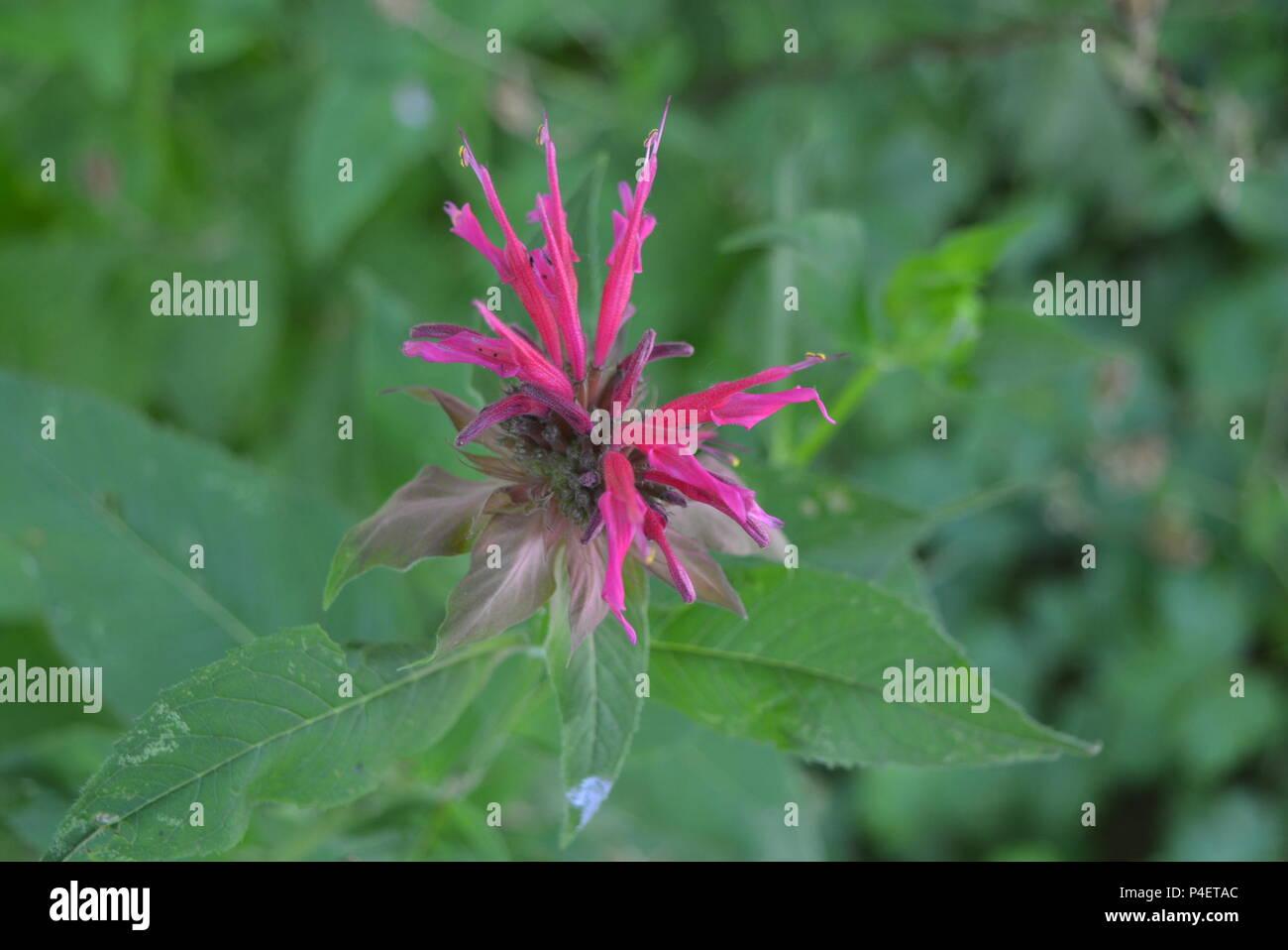 Red ruta ukrainian national monarch flower purple raspberry on a green leaf background Stock Photo