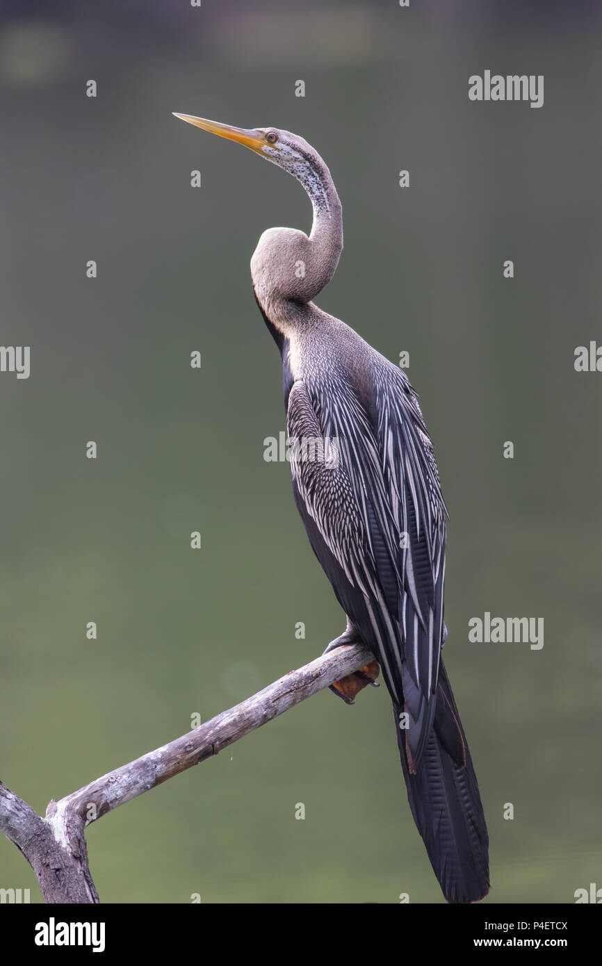 A portrait of Oriental darter or snakebirds , keoladeo national park, India - Stock Image
