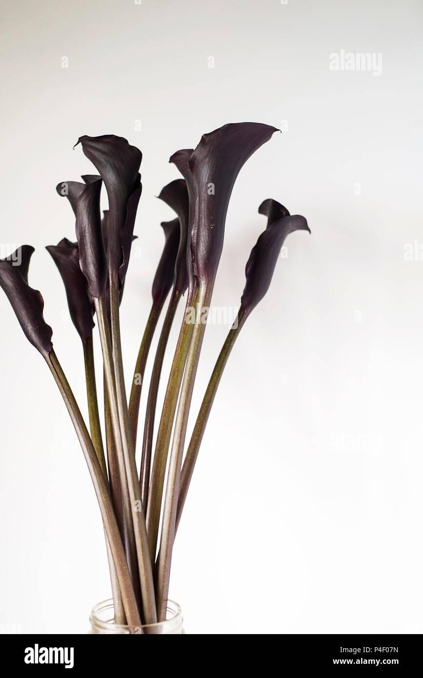 Dark Purple Black Calla Lily Flowers On A Light Background Stock